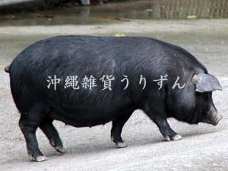 沖縄の伝統的な黒豚アグー