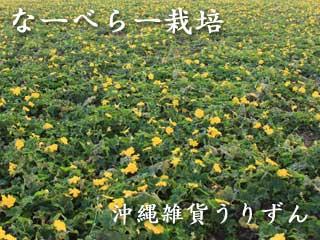 沖縄へちまの栽培風景