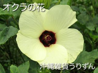 島オクラの花