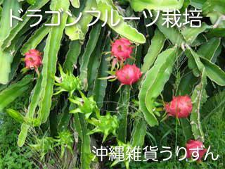 ドラゴンフルーツ(ピタヤ)栽培風景