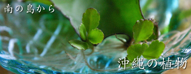 沖縄,植物,種
